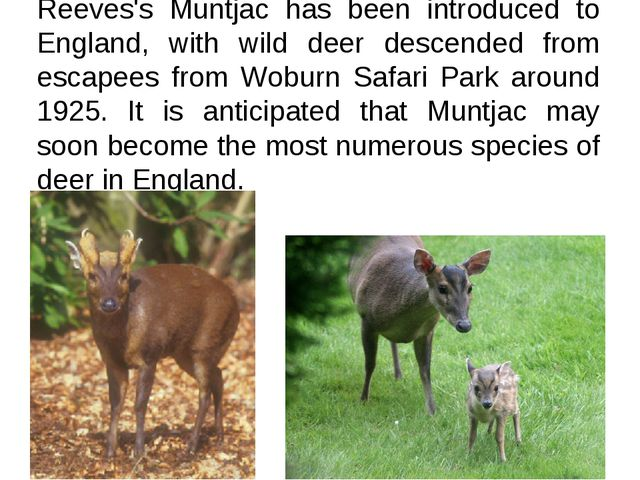 Reeves's Muntjac has been introduced to England, with wild deer descended fro...