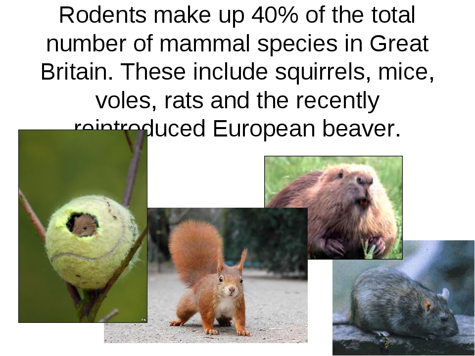 Rodents make up 40% of the total number of mammal species in Great Britain. T...