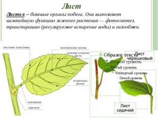 Лист Листья – боковые органы побега. Они выполняют важнейшую функцию зеленого