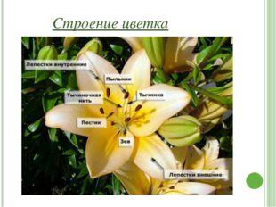 Чашечка Чашечка — это слой, удерживающий цветок снаружи. Чашечка состоит из ч