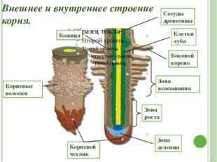 Внешнее и внутреннее строение корня. Корневой чехлик Боковой корень Зона рост
