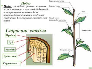 Побег Побег –(стебель с расположенными на нём листьями и почками) Надземный о
