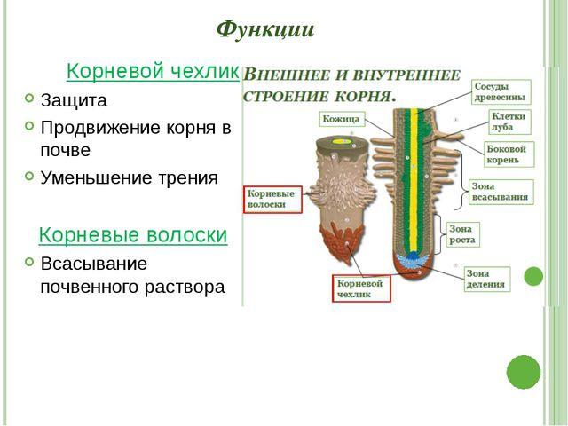 Функции Корневой чехлик Защита Продвижение корня в почве Уменьшение трения Ко...