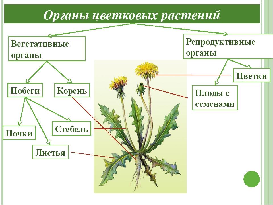 видео уроки по биологии органы цветковых растений