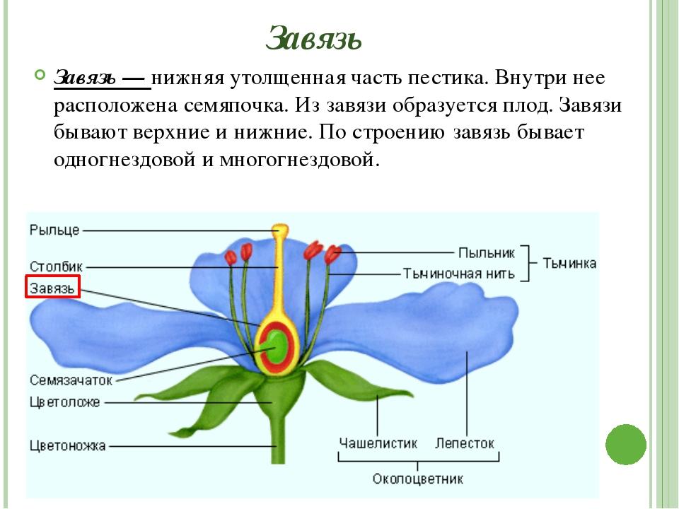 Рыльце Рыльце — самая верхняя часть пестика (столбика) — верхушка. Оно служит...