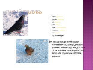Домен:Эукариоты Царство:Животные Тип:Хордовые Класс:Птицы Отряд:Голубеоб