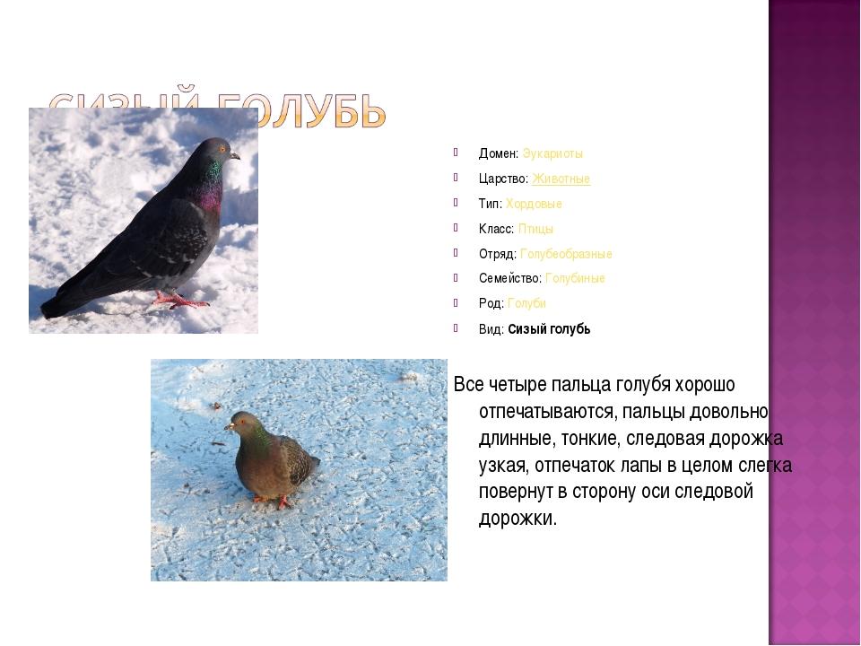 Домен:Эукариоты Царство:Животные Тип:Хордовые Класс:Птицы Отряд:Голубеоб...