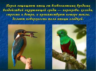 Перья защищают птиц от всевозможных вредных воздействий окружающей среды — пе