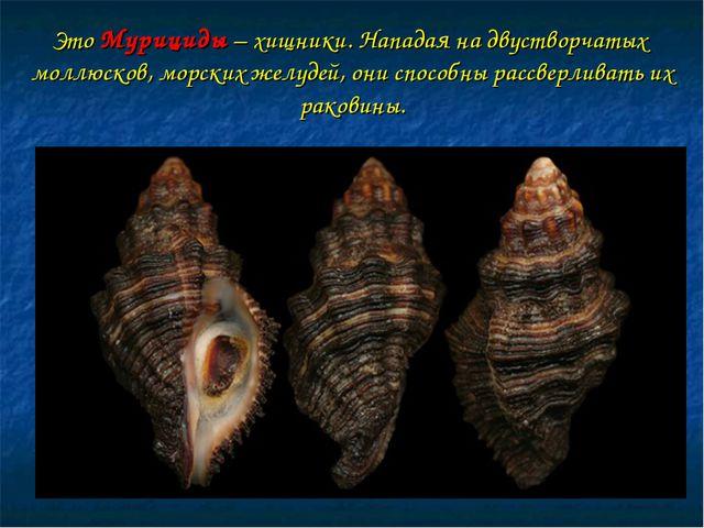 Это Мурициды – хищники. Нападая на двустворчатых моллюсков, морских желудей,...