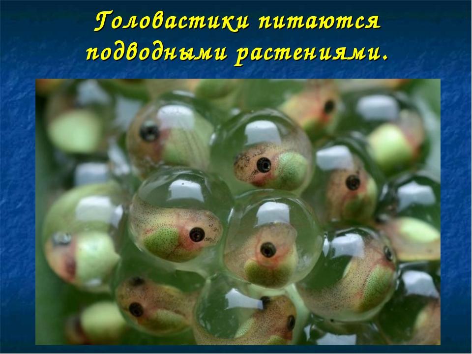 Головастики питаются подводными растениями.