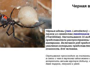 Черная вдова Окутывание происходит за считанные минуты, в связи с чем в паути