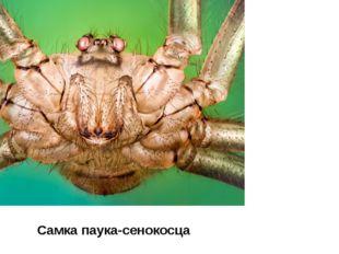Самка паука-сенокосца