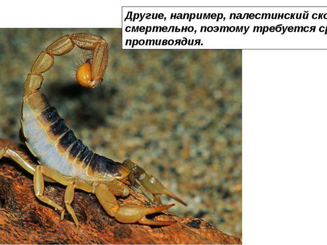 Другие, например, палестинский скорпион, жалят смертельно, поэтому требуется...