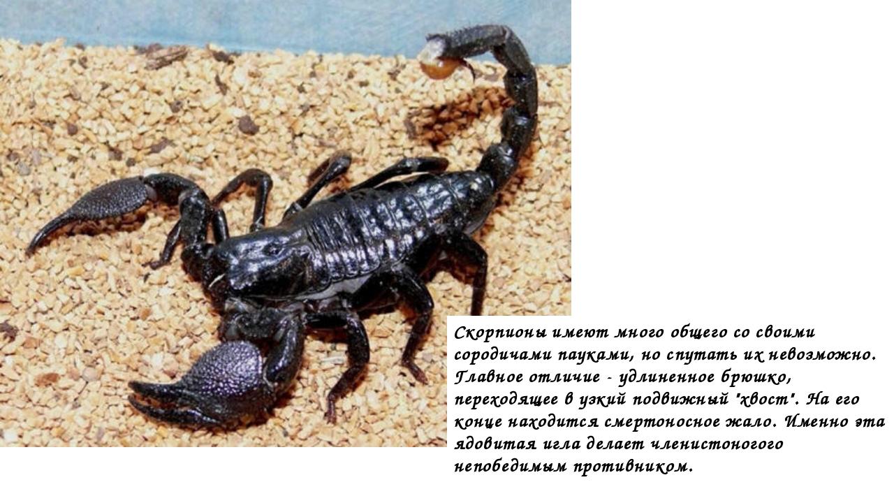 Скорпионы имеют много общего со своими сородичами пауками, но спутать их нево...