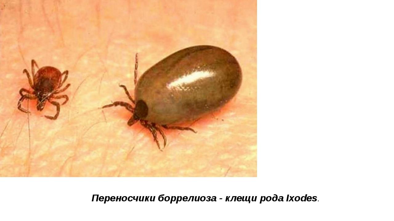 Переносчики боррелиоза -клещирода Ixodes.