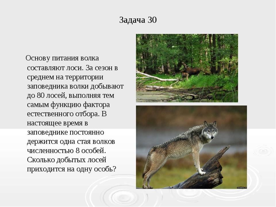 Задача 30 Основу питания волка составляют лоси. За сезон в среднем на террито...