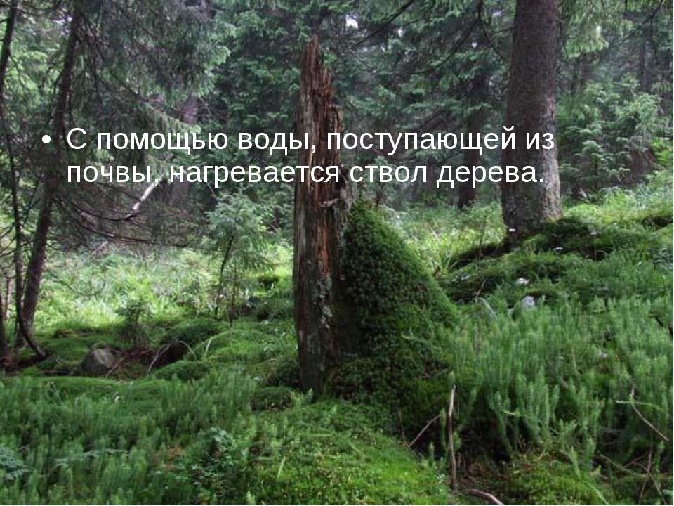 С помощью воды, поступающей из почвы, нагревается ствол дерева.