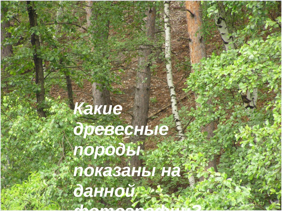 Какие древесные породы показаны на данной фотографии?
