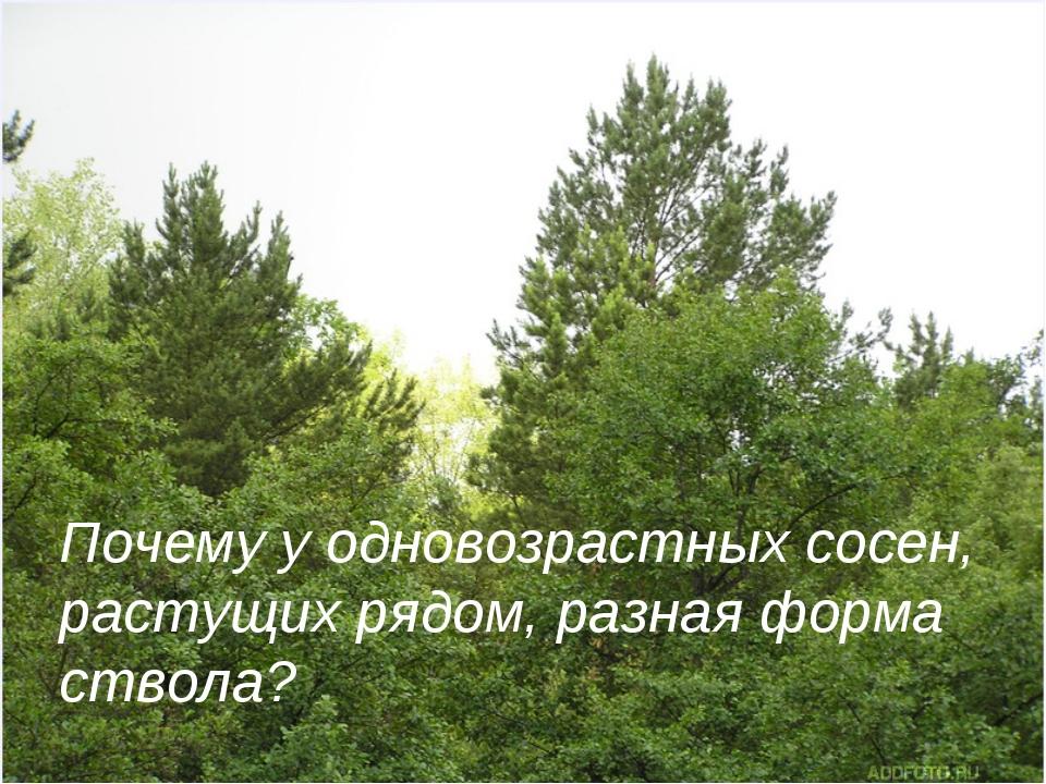 Почему у одновозрастных сосен, растущих рядом, разная форма ствола?