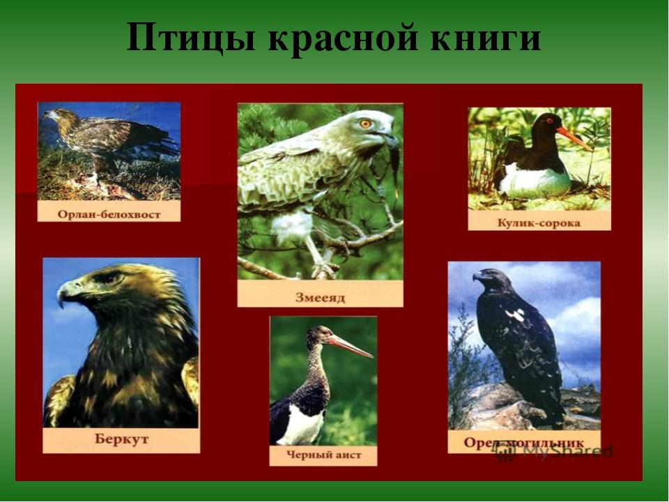 все птицы из красной книги с фото подобрать