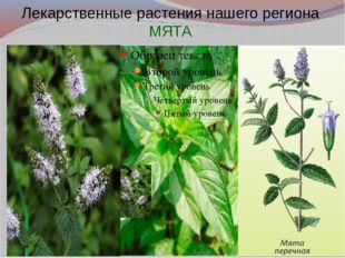 Лекарственные растения нашего региона МЯТА