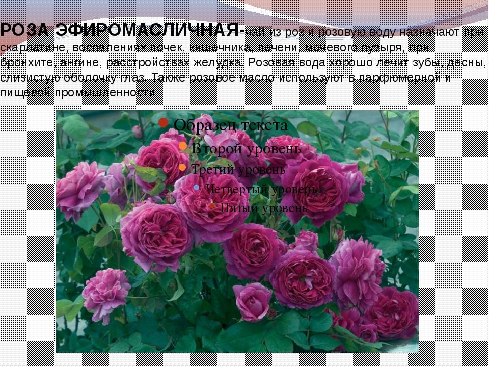 РОЗАЭФИРОМАСЛИЧНАЯ-чай из роз и розовую воду назначают при скарлатине, воспа...