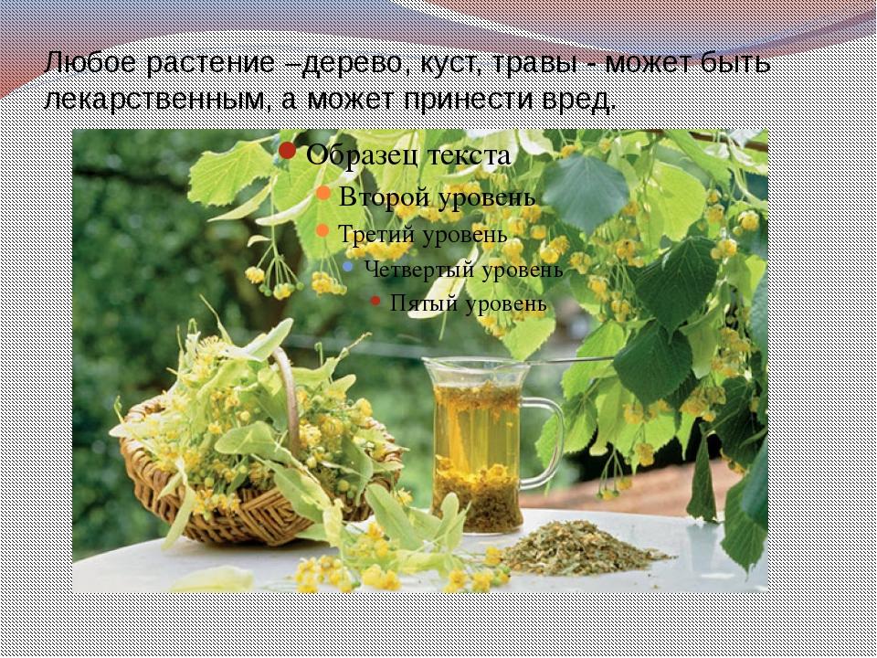 Любое растение –дерево, куст, травы - может быть лекарственным, а может прине...