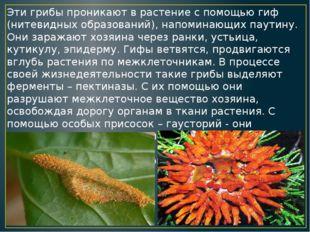 Эти грибы проникают в растение с помощью гиф (нитевидных образований), напоми