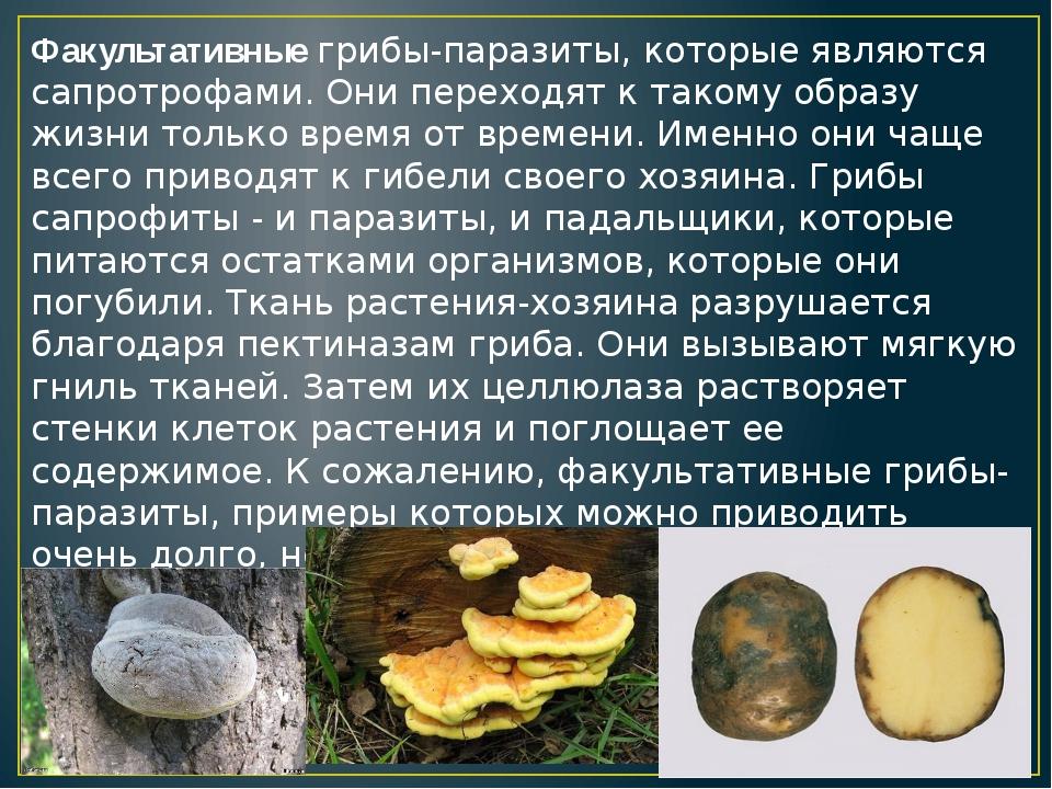 Факультативные грибы-паразиты, которые являются сапротрофами. Они переходят к...