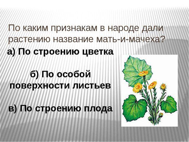 По каким признакам в народе дали растению название мать-и-мачеха? а) По строе...