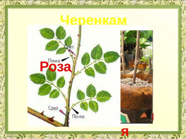 Орхидея Черенками Адениумы Виноград Роза
