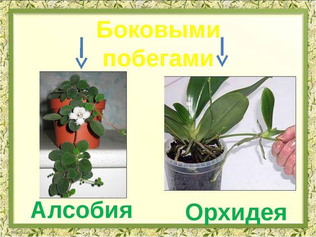 Орхидея Алсобия Боковыми побегами