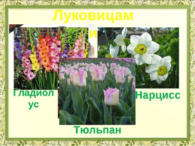 Гладиолус Луковицами Нарцисс Тюльпан