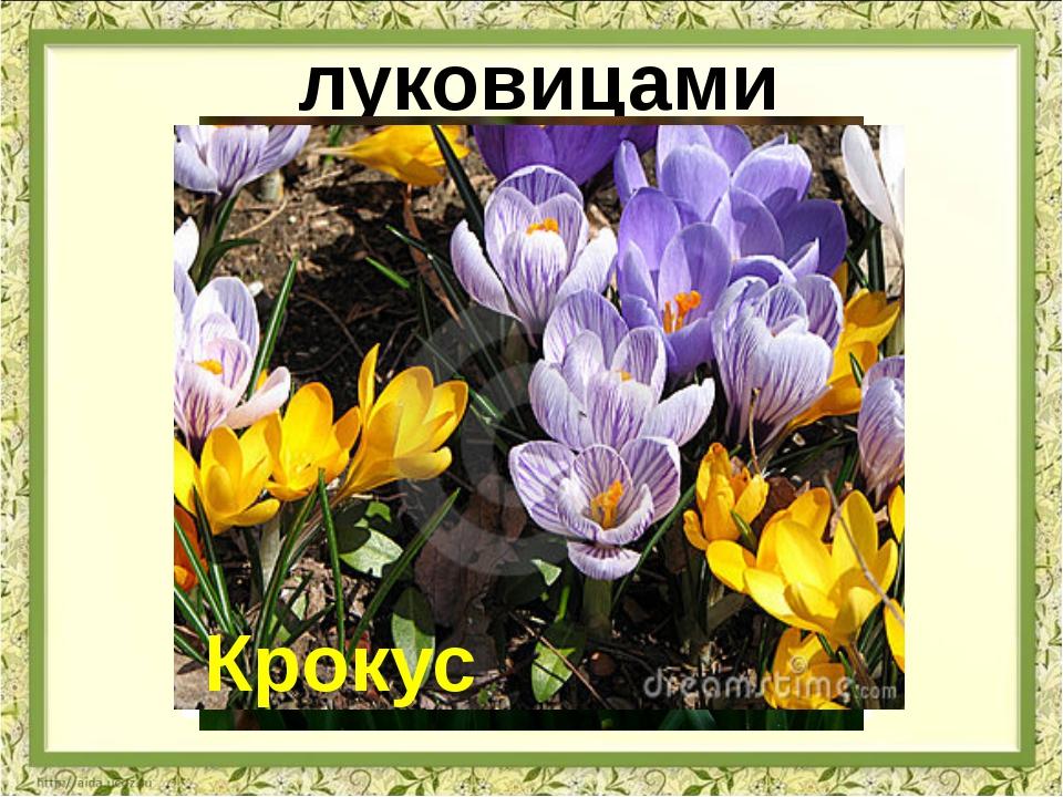 луковицами лук чеснок Подснежник Крокус