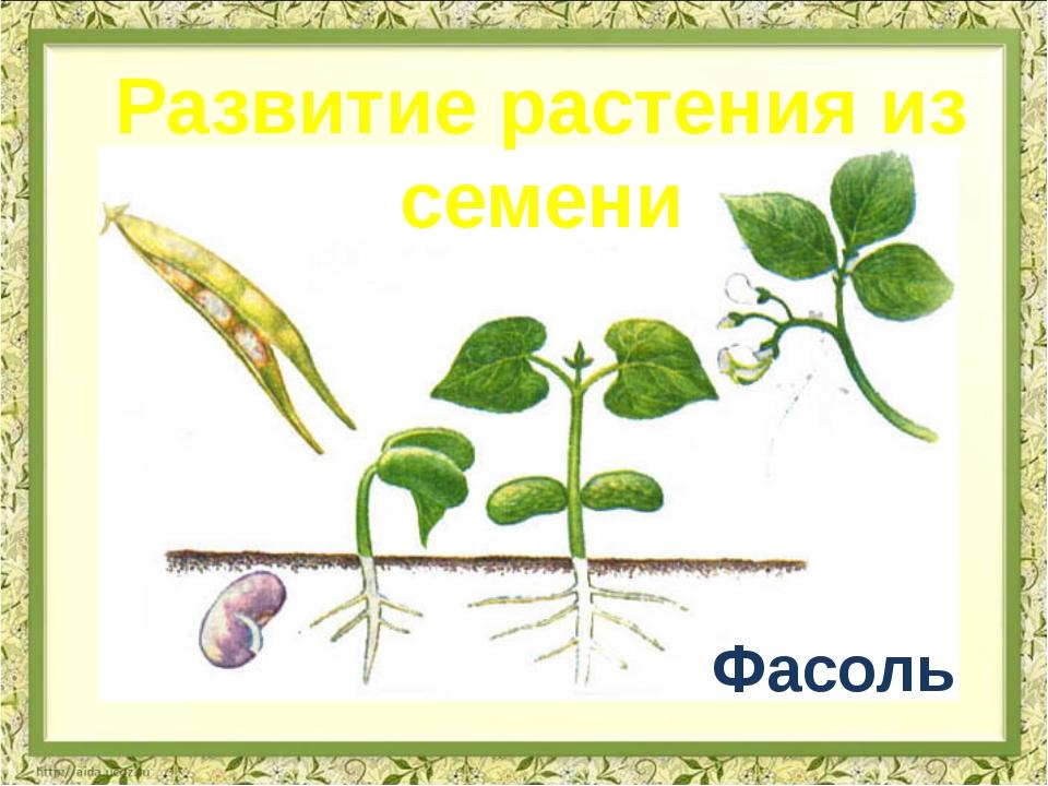 Фасоль Развитие растения из семени