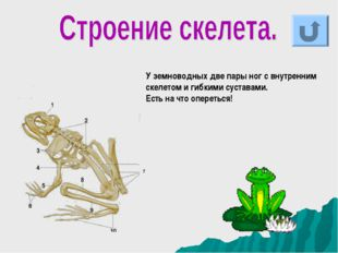 У земноводных две пары ног с внутренним скелетом и гибкими суставами. Есть на