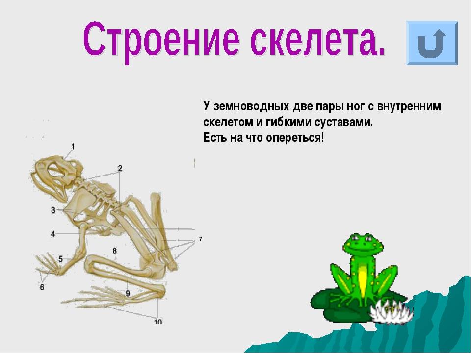 У земноводных две пары ног с внутренним скелетом и гибкими суставами. Есть на...