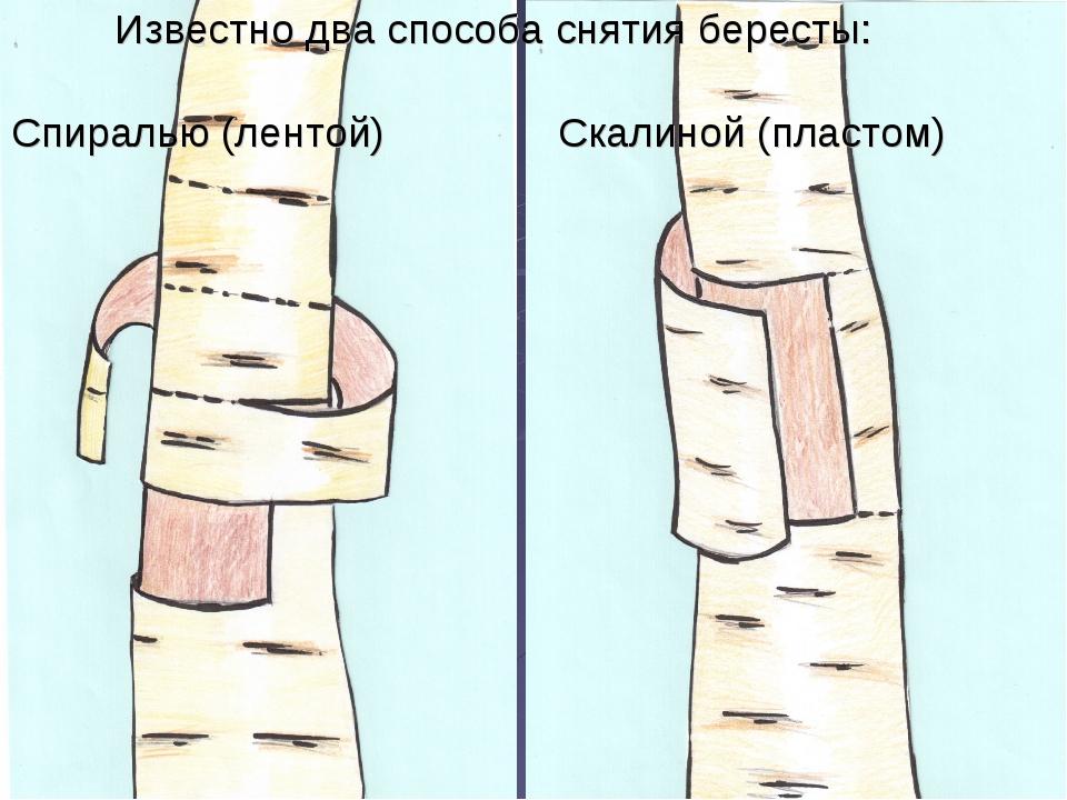 Известно два способа снятия бересты: Спиралью (лентой) Скалиной (пластом)