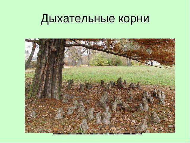 Дыхательные корни