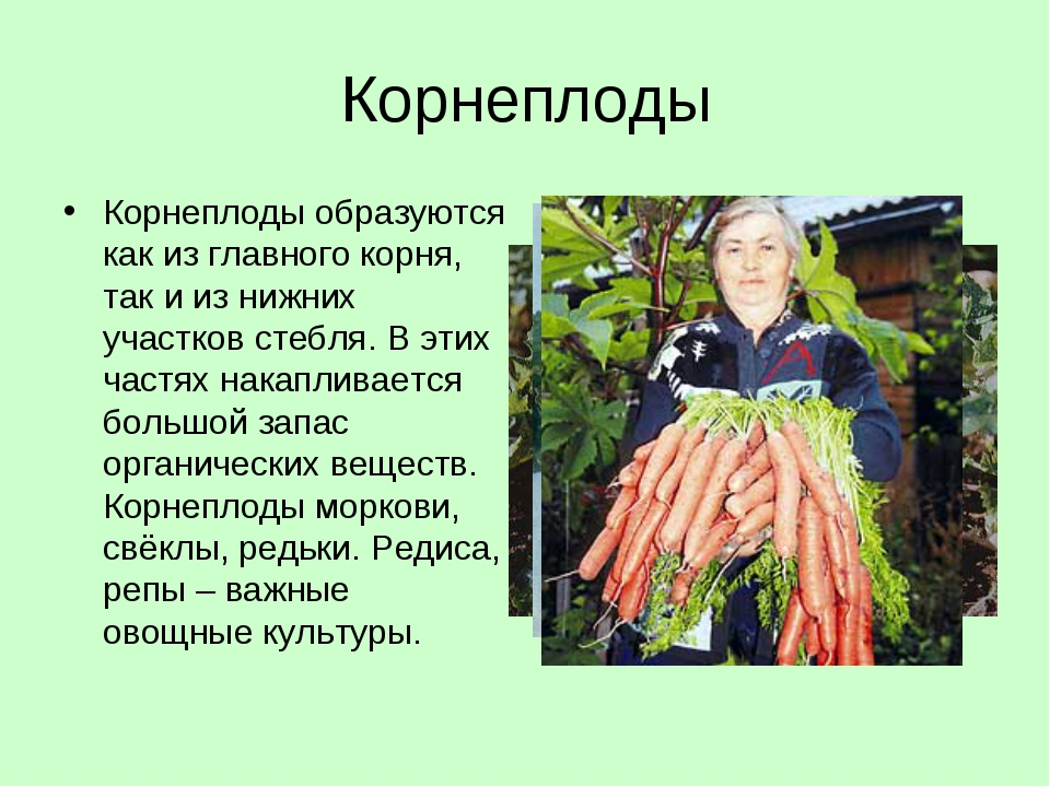 Корнеплоды Корнеплоды образуются как из главного корня, так и из нижних участ...