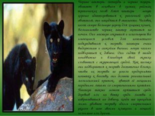 Черные пантеры, леопарды и черные ягуары, обитают в основном в густых районах