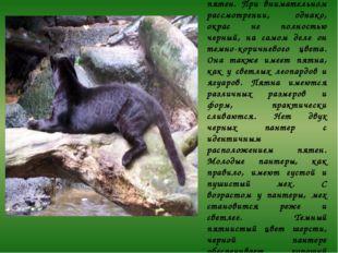 Существует мнение, что у черной пантеры мех однотонно черный и без пятен. При