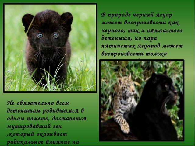 В природе черный ягуар может воспроизвести как черного, так и пятнистого дете...