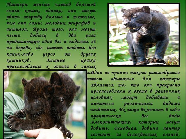 Пантеры меньше членов большой семьи кошек, однако, они могут убить жертву бол...