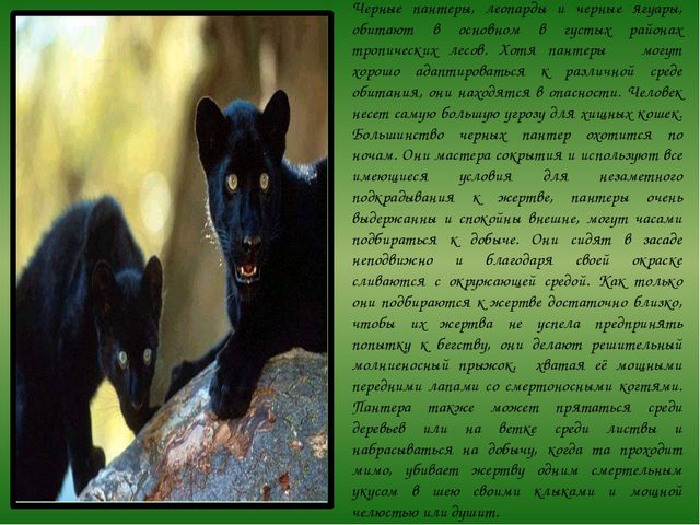 Черные пантеры, леопарды и черные ягуары, обитают в основном в густых районах...