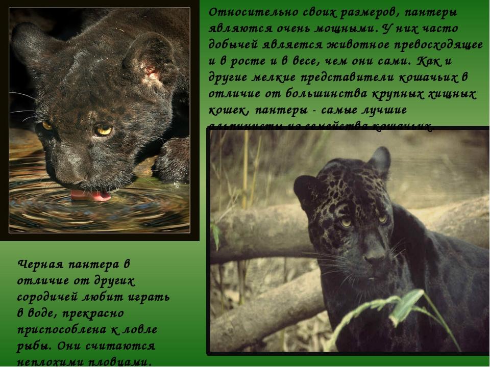 Относительно своих размеров, пантеры являются очень мощными. У них часто добы...