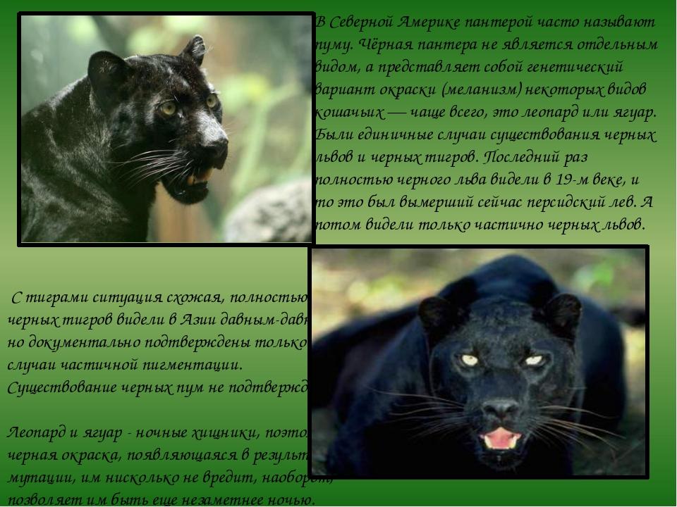 В Северной Америке пантерой часто называют пуму. Чёрная пантера не является о...