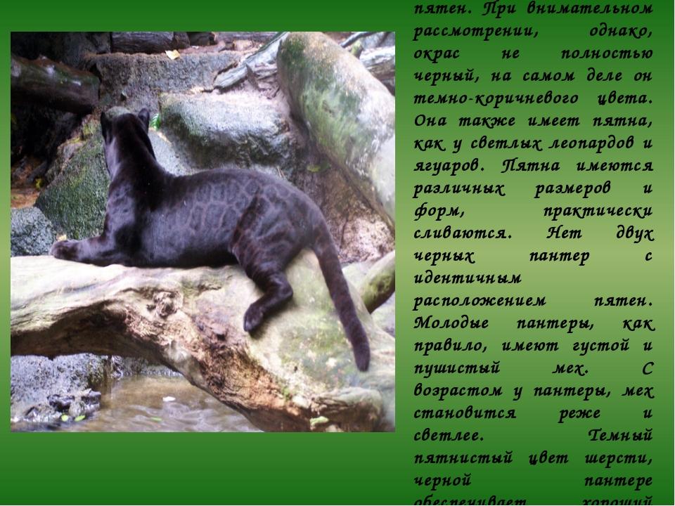 Существует мнение, что у черной пантеры мех однотонно черный и без пятен. При...