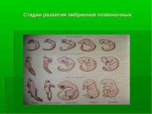 Стадии развития эмбрионов позвоночных