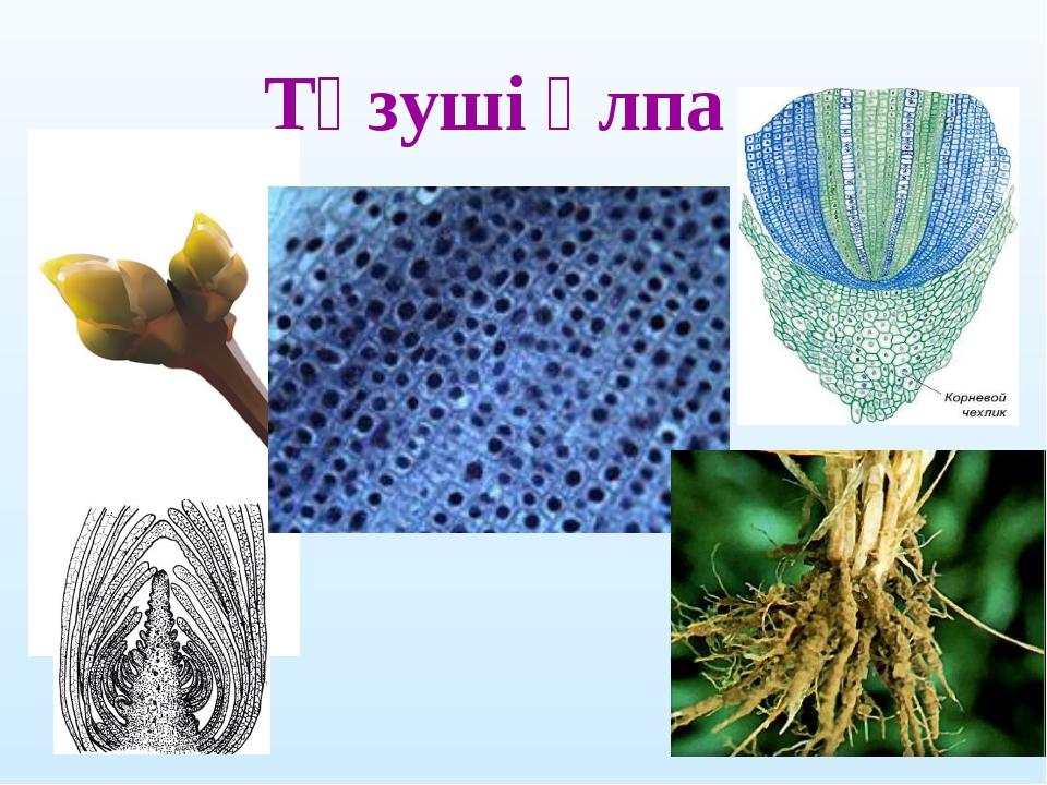 Түзуші ұлпа
